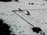 ворона убивает голубя